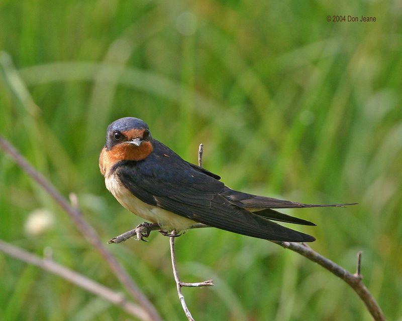 Barn Swallow - May 2004.