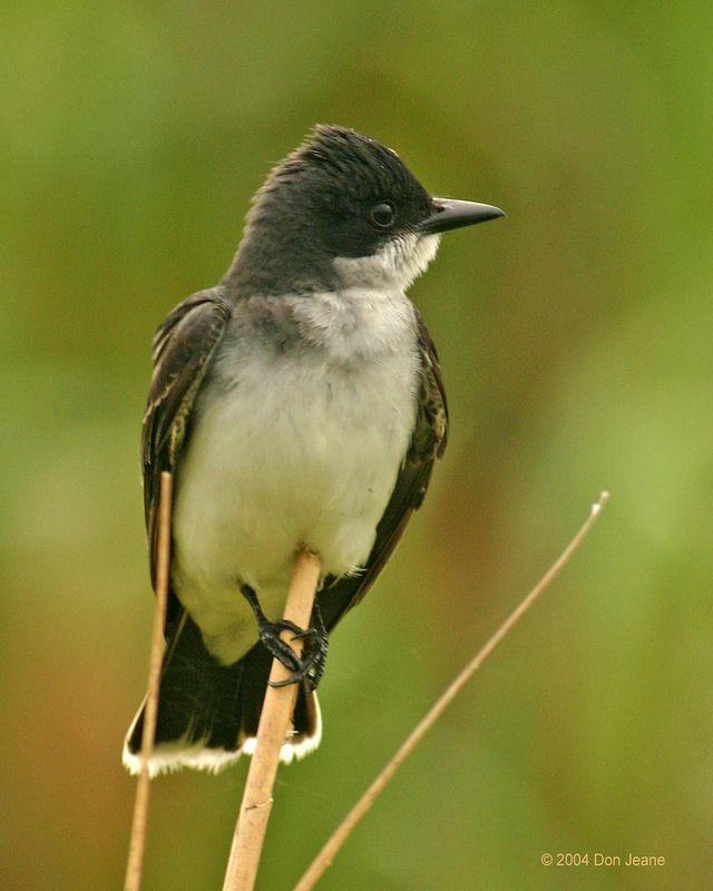 Eastern Kingbird - May 2004.