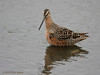 Long-billed Dowitcher, 4/23/2010.