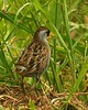 Sora Rail - May 2005.