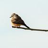 Immature Vermillion Flycatcher