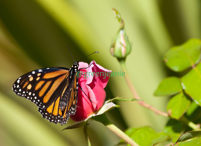 Monarch Butterfly on Aloha! Rose Bud in my garden... does it get any more beautiful?