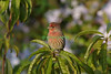 House Finch male in Peach Tree... plumbego in background