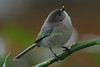 Sometimes life is a Balancing Act !  This male Bushtit has a tiny spec on the tip of his bill.  When the Bushtits visit, the garden is full of their jingling charms as they nibble on any bugs on the leaves... what a gift they are.  I decided to call them a Jingle of Bushtits.
