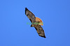 Red-tailed Hawk soaring over Black Mountain in Rancho Penasquitos