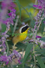 Common Yellowthroat enjoying Mexican Sage