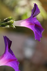 Morning Glories...glowing from within.