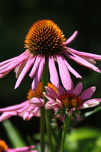 Coneflowers in the garden.