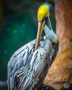 pelican8x10