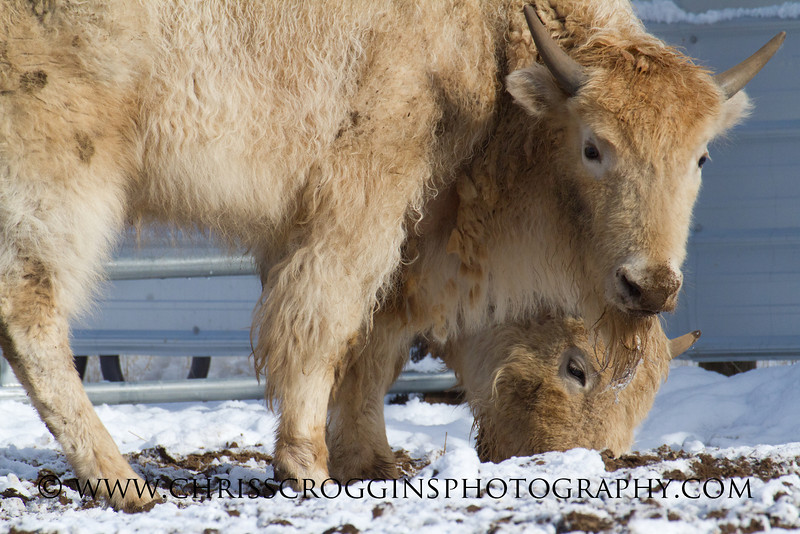 Two Baby Bison Calves