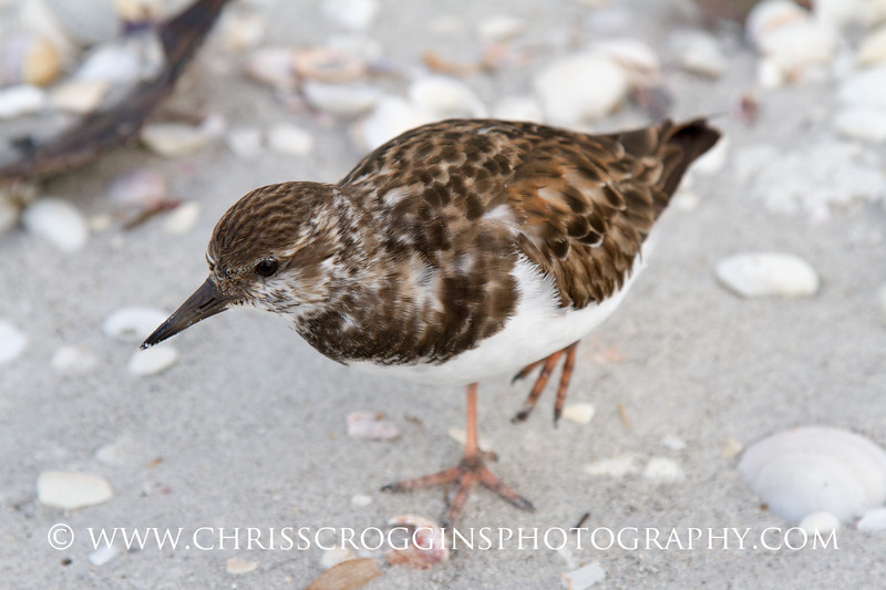 Ruddy Turnstone .<br /> Sanibel Island, Florida.