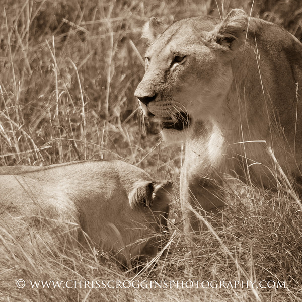 Two Lioness Sqr