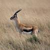 Thompson's Gazelle Sqr