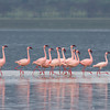 Dancing Pink Flamingos