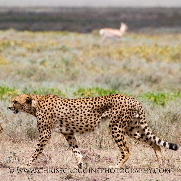 The Hungry Red Cheetah  Sqr