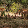 Impala Mothers and Fawns