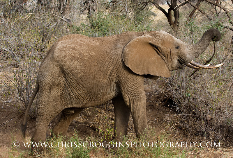 Elephant Foraging