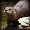 American River Otter