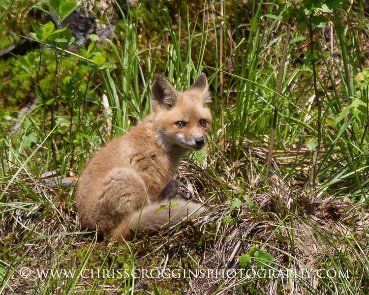 Foxy 3