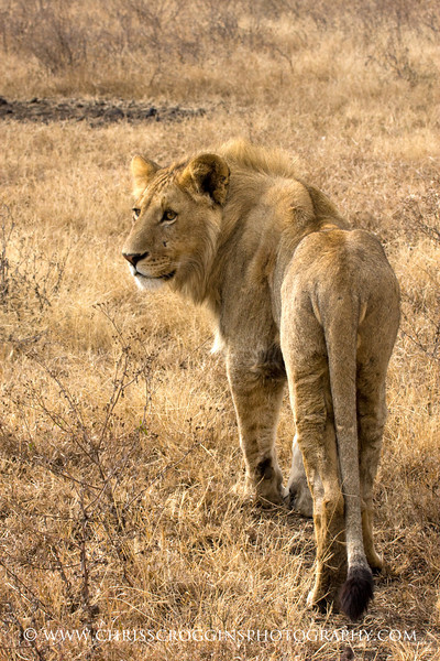 Young Maned Lion