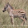 Young Zebra Foal.