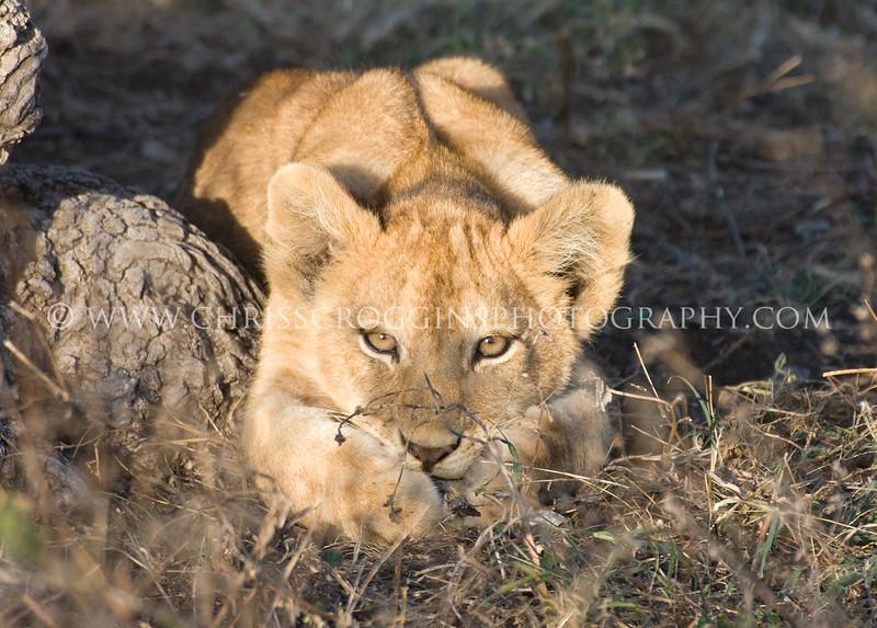 Lion Cub Waiting for Mother,<br />  Ndutu,Tanzania.