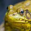 Green Frog close up