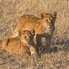 Two African Lion Cubs