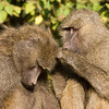 Olive Baboons Grooming