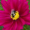 Bumblebee on Cleome Flower