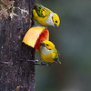 Silery-throated Tanagers