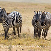 Zebras Wild and Free.
