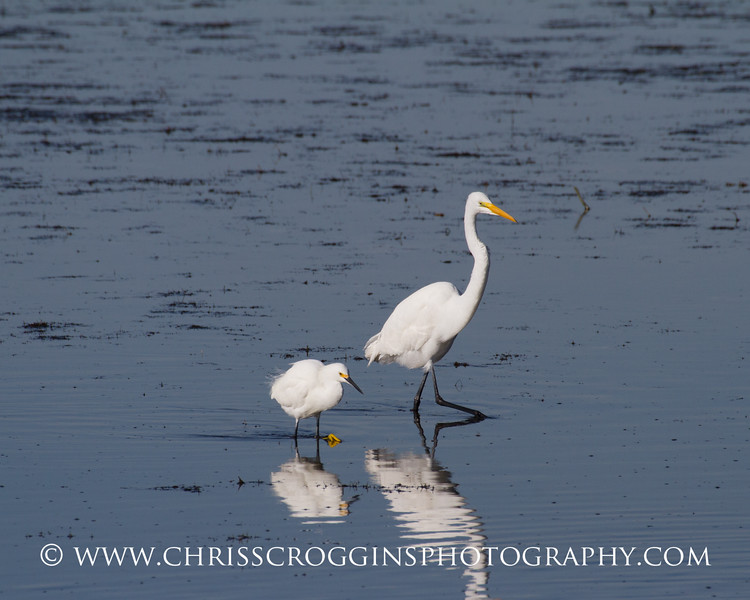 ~ Walk this Way ~<br /> Snowy Egret and Great Egret.<br /> Ding Darling National Wildlife Refuge, Florida.