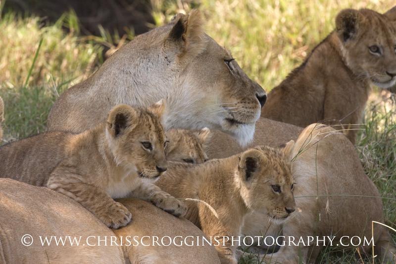 Lion Pride Siesta, <br /> Ndutu, Tanzania.