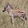 Wild Zebra Foal