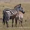 Zebra Foal Nursing.