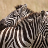 Zebra Friends