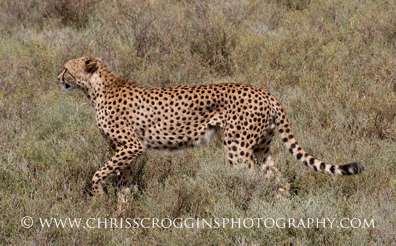 Red Cheetah Profile
