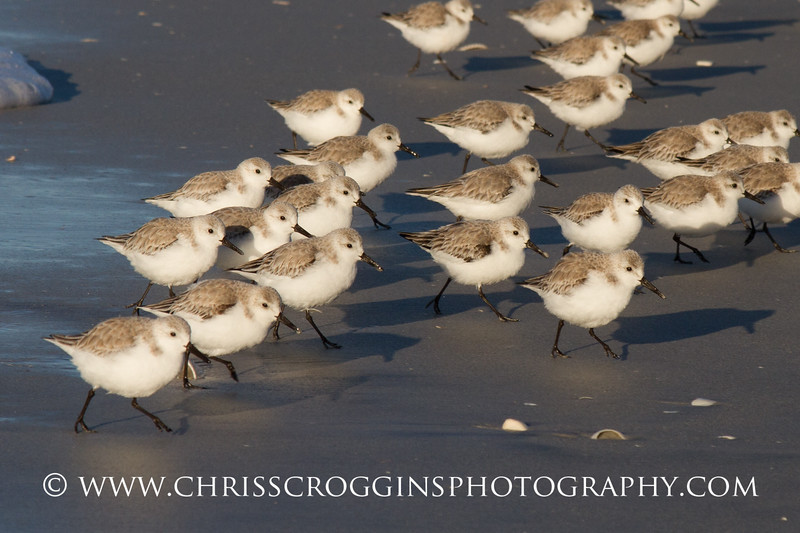 March of the Sanderlings 2.<br /> Sanibel Island, Florida.