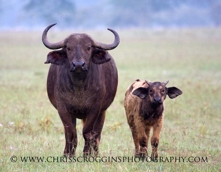 African Buffalo and Calf