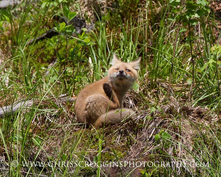 Foxy 6