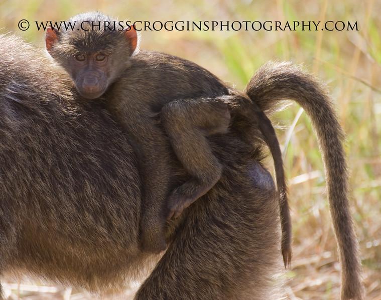 Young Baboon Jockey