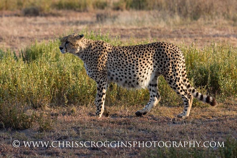 The Well-Fed Cheetah.<br /> Ndutu, Tanzania.