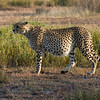 The Well-Fed Cheetah.<br /> Ndutu, Tanzania.