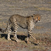 Sub-adult Cheetah