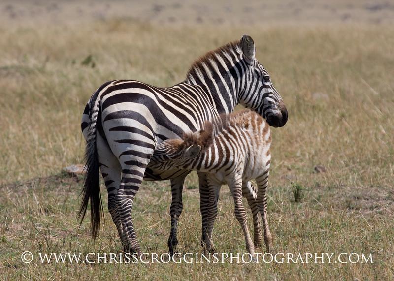 Zebra Foal Nursing