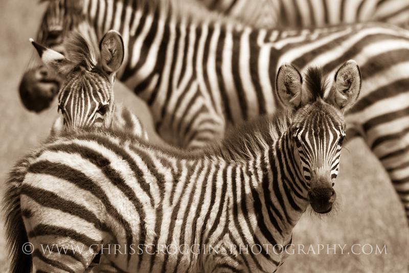 Zebra Stripes Galore