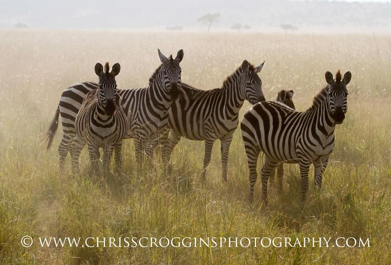 Plains Zebras in Dust