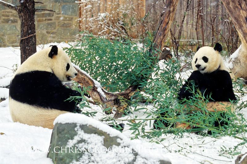 Pandas in Snow