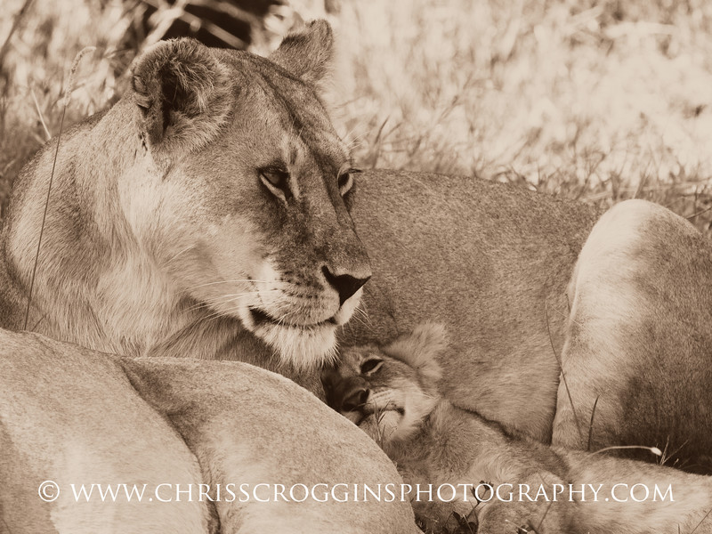 Lion Mother and Cub.